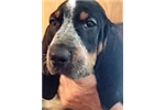 Picture of UKC Registered Male Bluetick Puppy