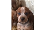 Bluetick Coonhound for sale