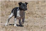 Picture of Drop Dead Gorgeous Male Puppy