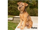 Irish Terrier for sale