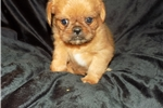 Picture of Shiffon (Brussels Griffon dad and Shih Tzu mom)