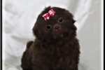 Picture of a Chinese Imperial Puppy
