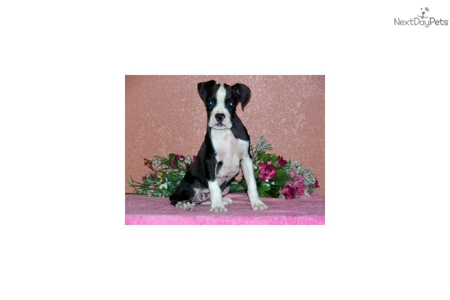 AKC SEALED REVERSE BRINDLE BEAUTY!!!-ON SALE!!!
