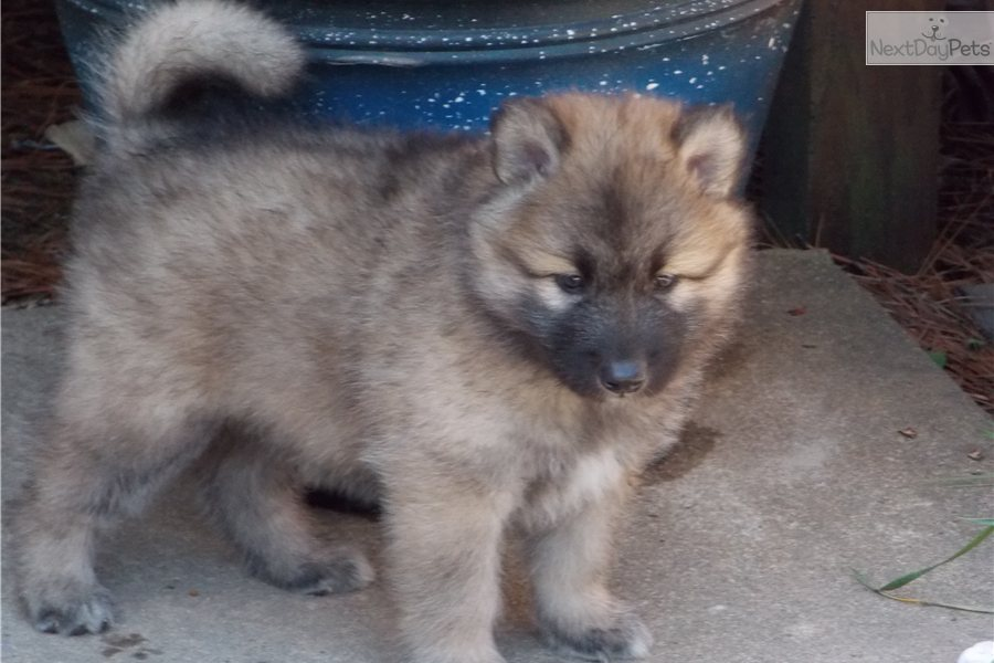 Akita-Wolf mix | Black Male Akita For Sale in Richmond VA | 3335043000