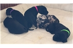 Picture of Great Danes puppies Euro lines