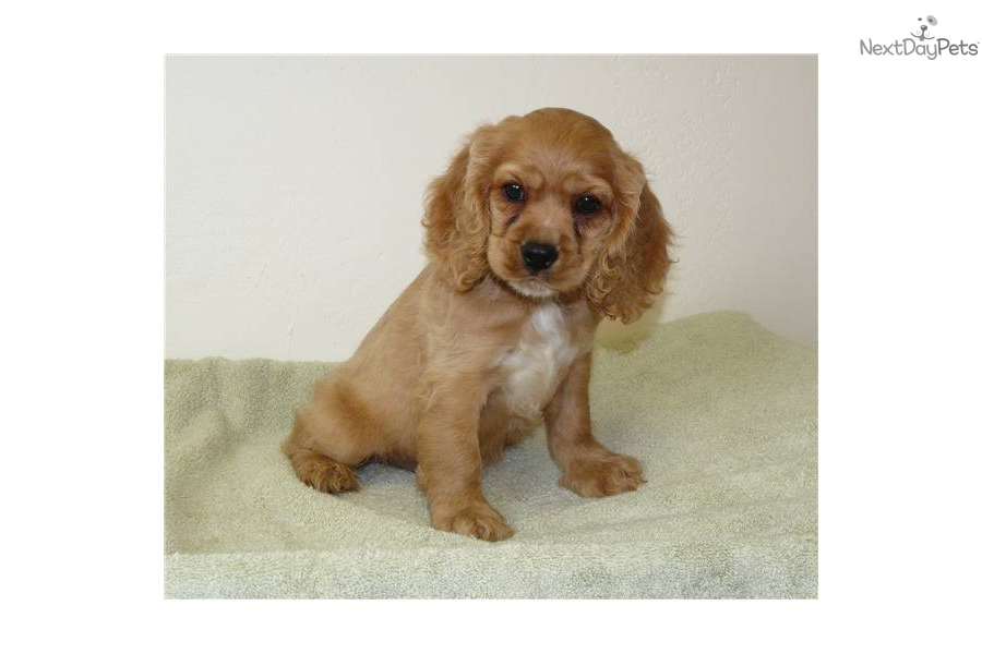 Brittany Spaniel Puppies  Rescue and Adoption Near You
