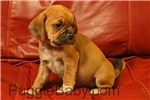 Picture of Max the cute homeraised Puggle!