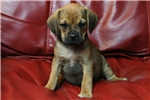 Picture of Home raised boy Puggle Ranger!