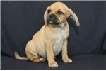 Picture of Cute Puggle Arial is waiting for her forever home!