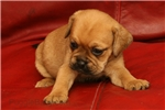 Picture of Annie the sweet homeraised Puggle!