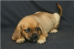 Picture of Ferris the Puggle wants to be your new friend!