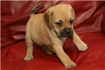 Picture of Cooper the Puggle home-raised Puggle
