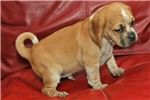 Picture of Buster the handsome tri-color Puggle!