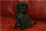 Picture of Millie home raised Puggle puppy!