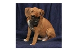 Picture of a Boxer Puppy