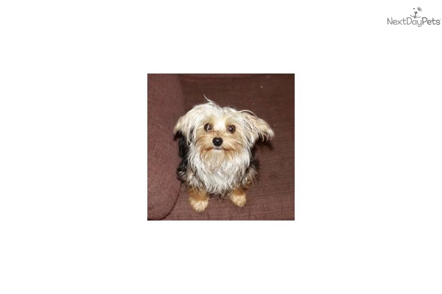 adorable-little-zoe-zoedog-yorkshire-terrier-yorkie-puppy-cfcd2e9b