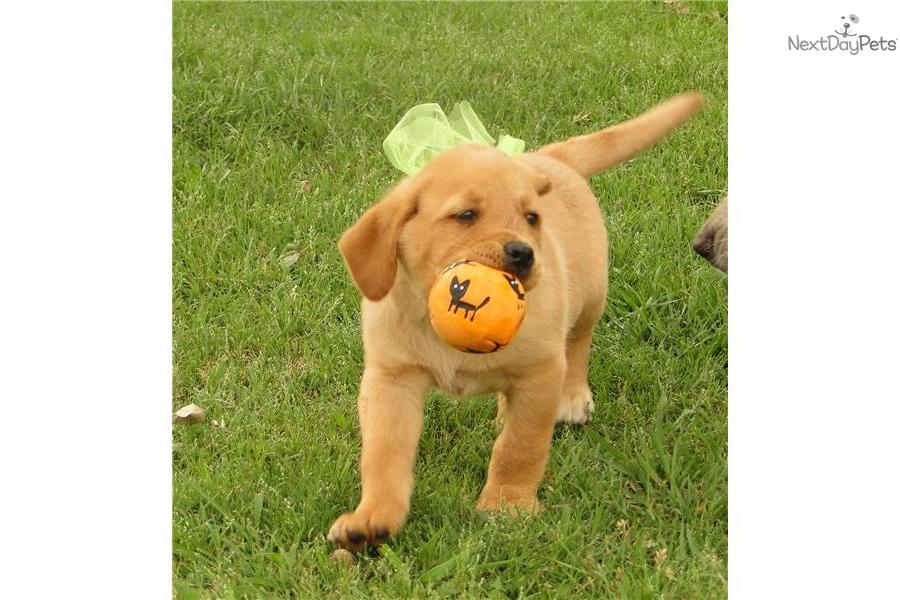Labrador Retriever puppy for sale near Texoma, Texas | a102008a-e461