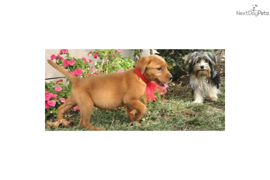 Related Pictures dogs puppies labrador retriever labradors animals ...