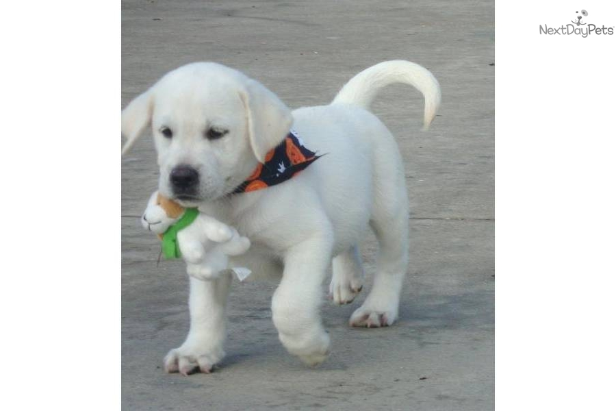 White labas seen n d mag just labs dallasdog labrador retriever puppy