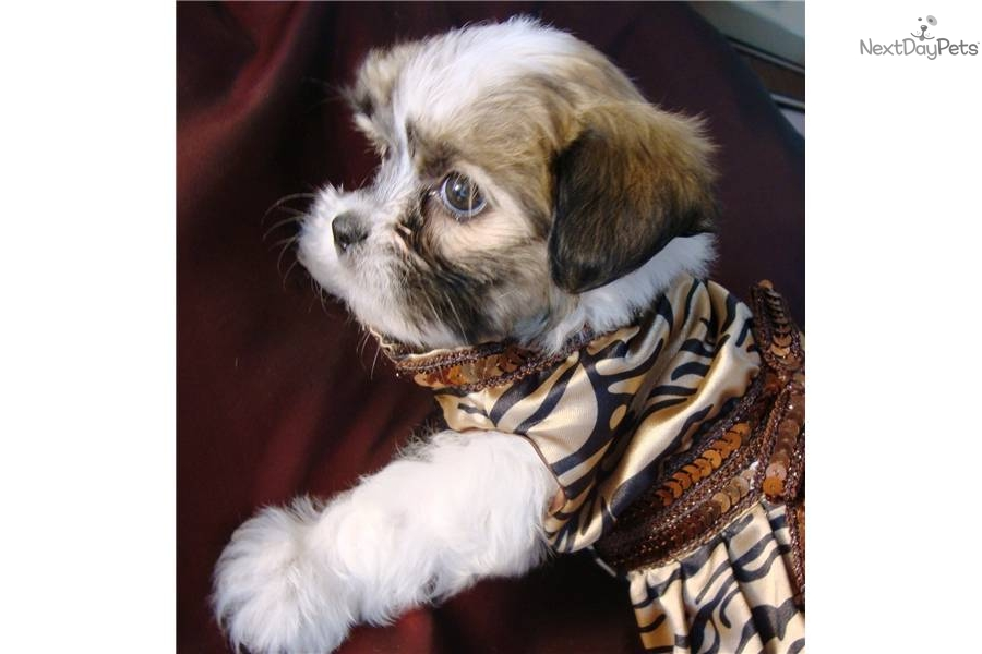 Pictures Of Tea Cup Non Shedding Dogs | Dog Breeds Picture