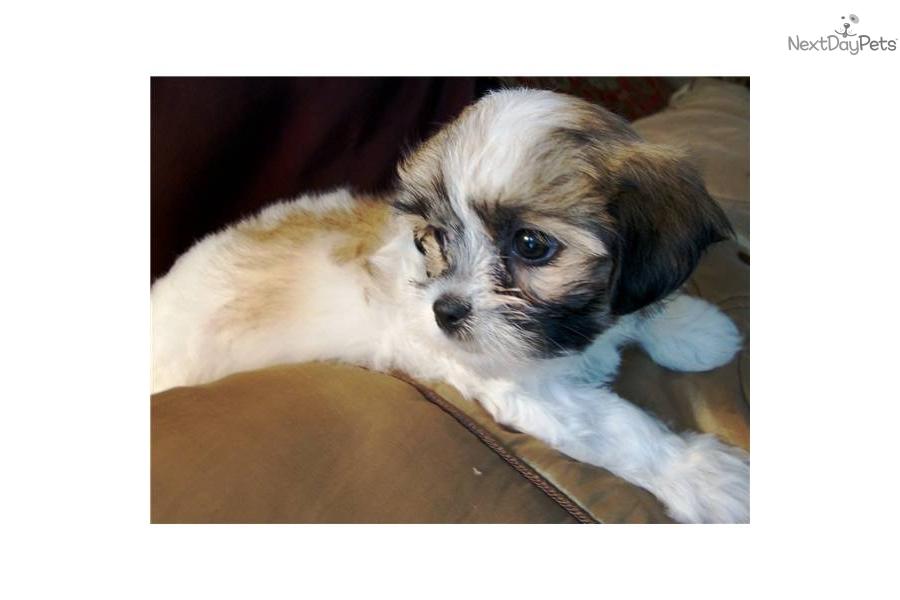 Teacup Non Shedding Dog Breeds | Dog Breeds Picture