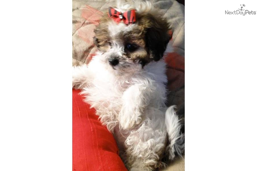 meet ava a cute malti poo