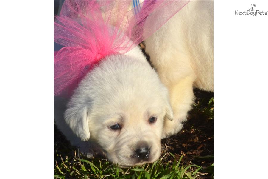 Meet Athenas white Labs a cute Labrador Retriever puppy for sale for $ ...