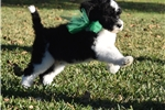 Picture of Warren! Whiskey's Gorgeous Doodles! Ready 4 Xmas!