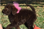 Picture of Waverly! Whiskey's Gorgeous Doodles! Ready 4 Xmas!