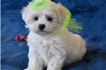 Picture of Dripping White Maltese Puppy!