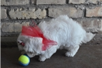 Picture of Stunning Maltese Boy!