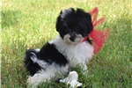 Picture of VIDEO!Tiny! Little Maltipoo Girl Angel!