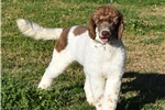 Picture of Breeders: Stunning Male Parti Labdradoodle!