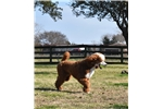 Picture of Stunning Red Accented Standard Poodle!