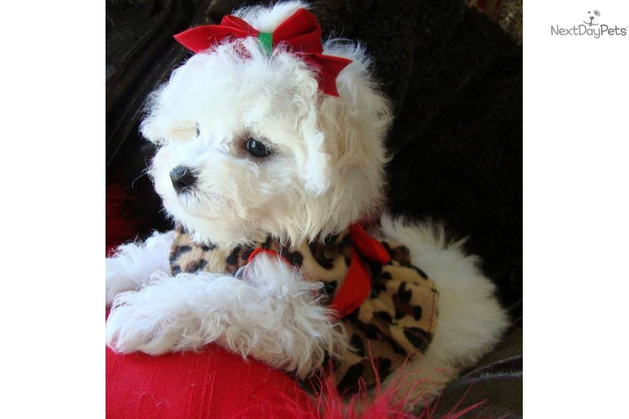 Both the Maltipoo puppies and Morkie puppies are good with small ...