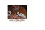 Featured Breeder of West Highland White Terrier Westies with Puppies For Sale