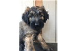 Waski's Yellow | Puppy at 7 weeks of age for sale