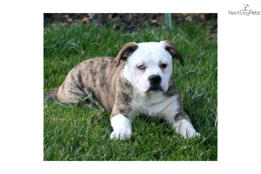 Blue American Bulldog Puppy American Bulldog Puppy For