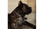 Picture of Stunning Brindle girl ready to go!!