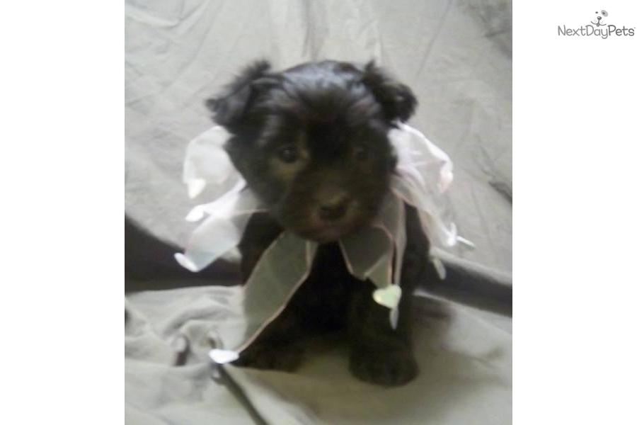 Gorgeous Completely Black Girl  Black Soft Coated Wheaten Terrier