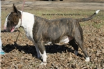Picture of ~**Fabulous Brindle Boy!!**~