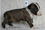 Picture of AKC Show Potential Flashy Male