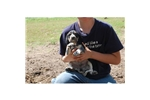 Picture of English Bluetick