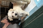 Picture of ADORABLE Schnoodle Puppy Cream