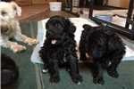 Picture of ADORABLE Schnoodle Puppy  Female