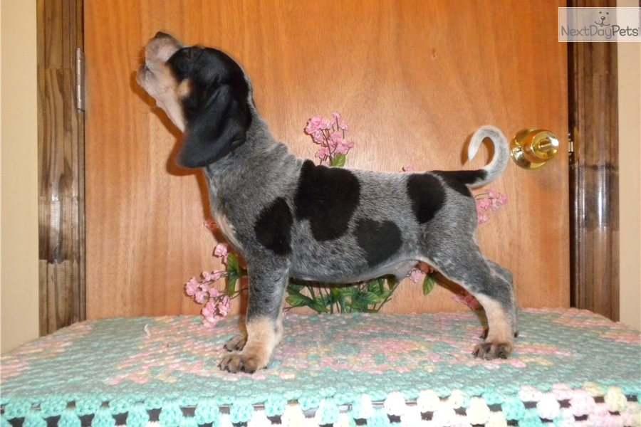 Bluetick Coonhound For Sale For 400 Near Augusta