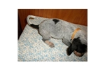 Picture of a Bluetick Coonhound Puppy