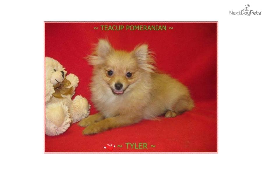 Adult Pomeranians Pup Scalperschallenge Tk