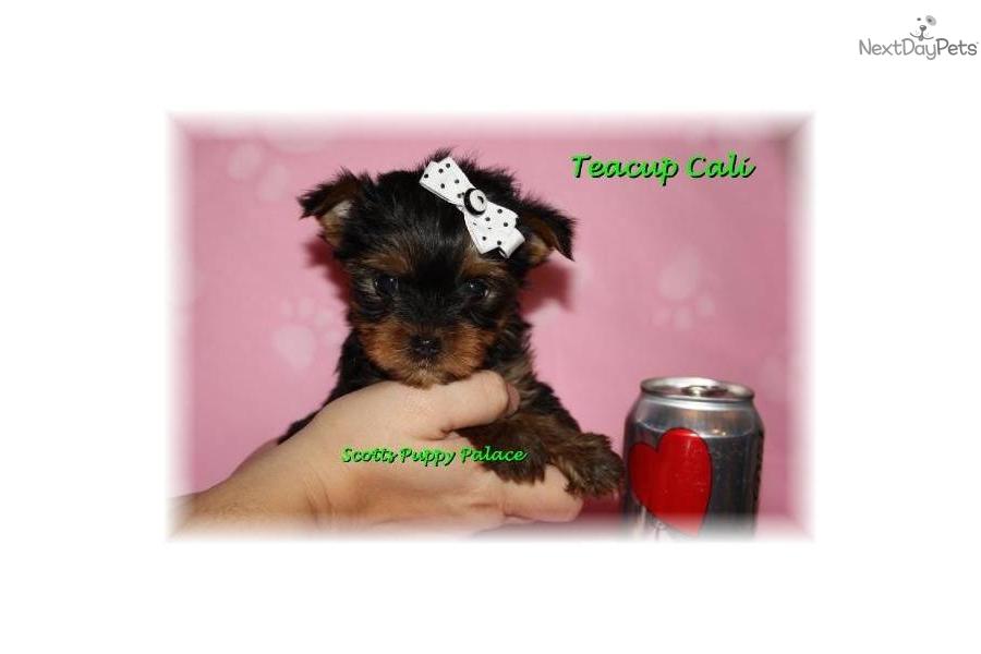 Teacup Yorkie Prices | Dog Breeds - 119.3KB
