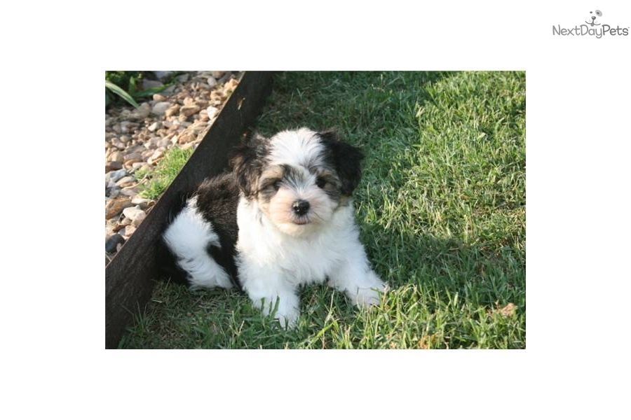 ... Morkie / Yorktese puppy for sale for $600. Kirby Cute Morkie Black and